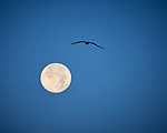 Northern Gannet and the Moon at Dawn. Image taken with a Nikon D800 camera and 70-300 mm VR lens (ISO 560, 300 mm, f/5.6, 1/500 sec).