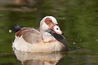 Nilgans, Nil-Gans, Alopochen aegyptiacus, Egyptian Goose, Oie d'Égypte