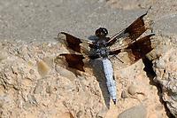 Dragonfly, San Angelo