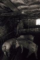 """Europe/Italie/Côte Amalfitaine/Campagnie/Sant'Agata Sui Due Golfi : Alfonso Iaccarino chef du restaurant """"Don Alfonso 1890"""" soigne ses cochons dans sa ferme biologique face à l'île de Capri"""