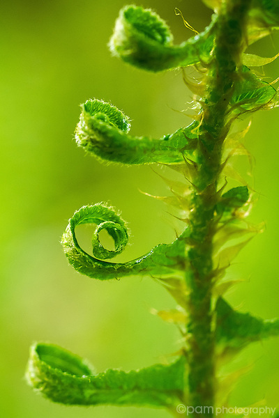 close-up image of curled fiddle head fern leaf