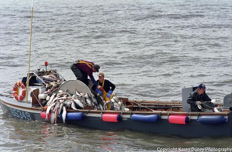 Fishermen haul sockeye salmon on board the wooden, gillnet fishing boat, the F/V Skookumchuck,  in Bristol Bay Alaska.