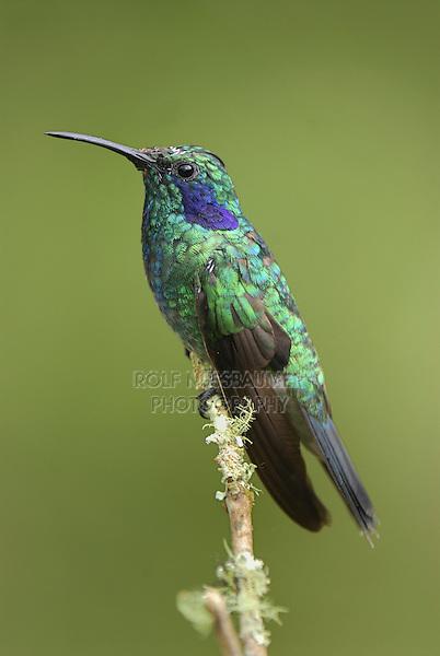 .Green Violet-ear Hummingbird (Colibri thalassinus), adult perched, Cierro La Muerte, Costa Rica