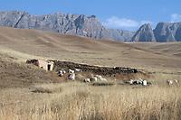 Sheep grazing on the Ganjia grasslands on the Qinghai-Tibetan Plateau. China