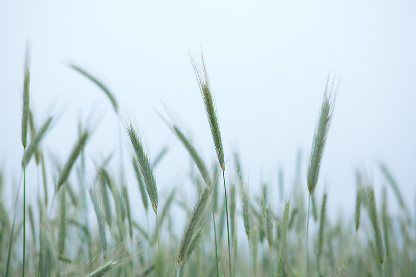 Europa, DEU, Deutschland, Hessen, Landkreis Fulda, Getreide, Aehren, Sommeranfang, Kategorien und Themen, Landwirtschaft, Landwirtschaftlich, Agrar, Agrarwirtschaft, <br /> <br /> [Fuer die Nutzung gelten die jeweils gueltigen Allgemeinen Liefer-und Geschaeftsbedingungen. Nutzung nur gegen Verwendungsmeldung und Nachweis. Download der AGB unter http://www.image-box.com oder werden auf Anfrage zugesendet. Freigabe ist vorher erforderlich. Jede Nutzung des Fotos ist honorarpflichtig gemaess derzeit gueltiger MFM Liste - Kontakt, Uwe Schmid-Fotografie, Duisburg, Tel. (+49).2065.677997, ..archiv@image-box.com, www.image-box.com]