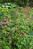 Rosa Oso Easy Fragrant Spreader aka Chewground, pink single roses with Aquilegia pink color theme