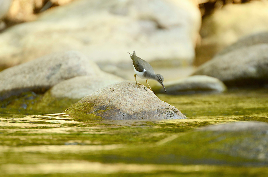 The first and only Spotted Sandpiper I've ever seen, intensely searched the perimeter of every rock on it's way upriver.