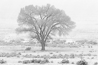A lone cottonwood tree endures a late Spring snowstorm in Browns park, Colorado