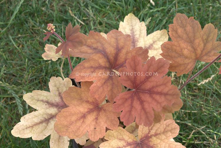 Foliage Plant Heucherella Sweet Tea