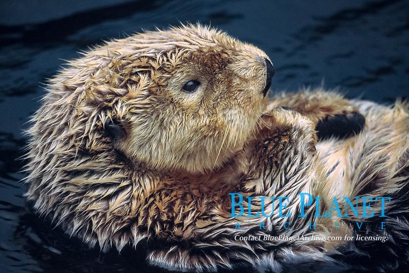 sea otter, Enhydra lutris kenyoni, Vancouver Aquarium, Stanley Park, Vancouver, British Columbia, Canada