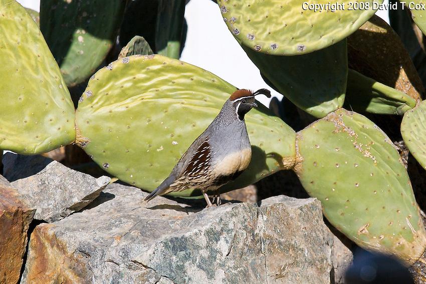 Gambel's Quail male, Arizona, USA