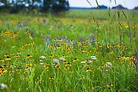 Tallgrass Prairie Preserve, Oklahoma with flowering Rudbeckia hirta, Yarrow (Achillea millefolium) and Wildrye grass.