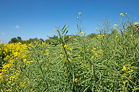 Oil seeed rape in pod - Lincolnshire, May