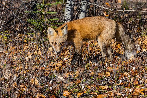 Red Fox (Vulpes vulpes) near the Yukon/British Columbia border.  Sept.