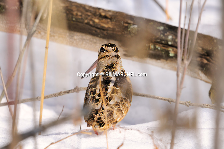 01262-018.02 American Woodcock is on deep snow after freak snow storm.  Hunt, survive, cold, winter.