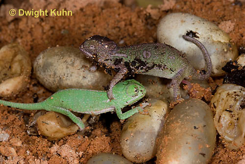CH43-555z  Veiled Chameleon young hatching from eggs, Chamaeleo calyptratus