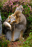 Hare hides from photographer then pulls a face in Scotland, UK by Gary Hodgson