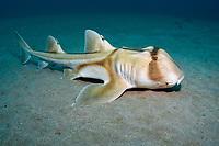 Port Jackson shark, Heterodontus portusjacksoni, endemic species, Merimbula, New South Wales, Australia, Pacific Ocean