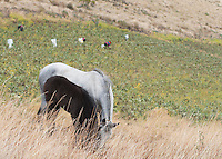 A horse stands at the edge of a bean field in the foothills of Mt. Antisana, near Quito, Ecuador