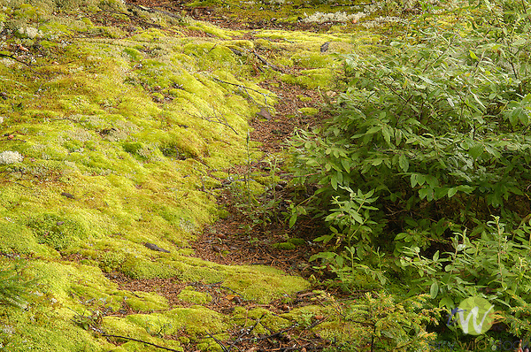 Mossy vibrant pathway at Allagash Camps.