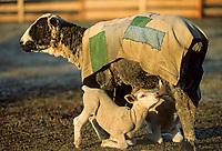 Lambs suckle on mother, Sheep farm, Delta Junction, Alaska