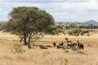 Tanzania.  Tarangire National Park. Scenic Landscape with Blue Wildebeest.