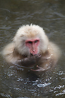 """A Japanese macaque strikes the classic """"speak no evil"""" pose in the waters of the monkey onsen at Jikokudani Yaen Park, Nagano, Japan."""