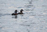 Harlequin Ducks, Homer, Alaska. Photo by James R. Evans.