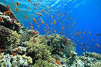 orange anthias or scalefin anthias, Pseudanthias squamipinnis, Red Sea, Egypt