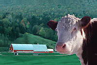 Hereford portrait with red and white barn