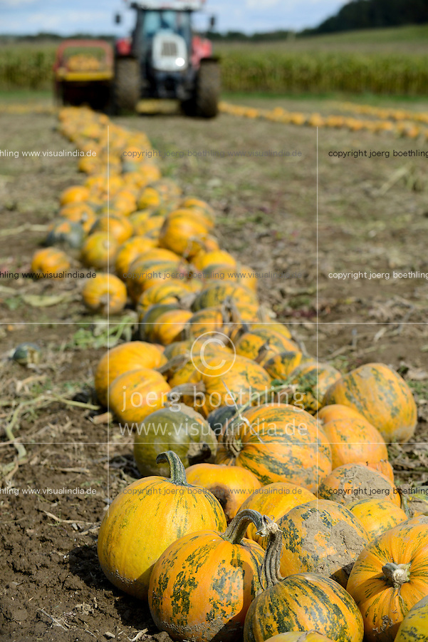 Austria Styria, cultivation of pumpkin, the seeds are used for processing of pumpkin seed oil, after pushing together the pumpkins will be picked up with spiked roller tool and the seeds will be separated from fruit / Oesterreich Steiermark, Anbau von Kuerbis und Verarbeitung zu Kuerbiskernoel, Ernte mit Traktor und Erntemaschine bei Landwirt Herbert Semler