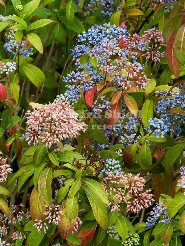Dichroa versicolor 'Blue Sapphires'