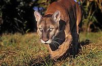Florida Panther (Felis concolor coryi) walking, endangered species, Florida.