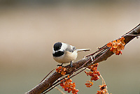 Black capped chickadee, Parus atricapillus, on a branch with bittersweet berries