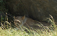 A female Lion, Panthera leo  melanochaita, sleeps in the shade of a large boulder in Serengeti National Park, Tanzania