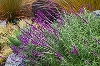 Salvia leucantha, Mexican Bush Sage flowering in California hillside garden; Greenberg Garden