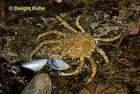 1C34-540z  Common Spider Crab, Libinia emarginata