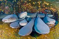 Whitetip Reef Shark, Triaenodon obesus, Roca Partida, Revillagigedo Islands, Mexico, Eastern Pacific Ocean