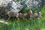 Three Coyote pups in Yellowstone National Park.