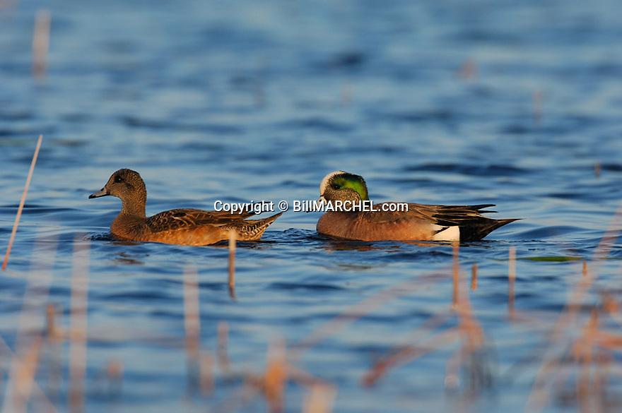 00318-006.16 American Wigeon Duck (DIGITAL) pair on the water of marsh typical of species.  Hunt, baldpate, waterfowl.  H3L1