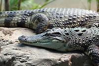 Common Caiman in (Caiman crocodilus) Beijing Zoo.