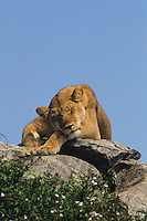 Female African Lion (Panthera Leo) resting on Kopje, Serengeti National Park.