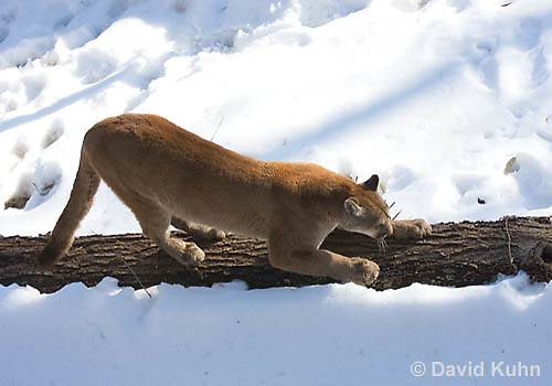 0218-1001  Mountain Lion (Cougar) in Snow, Puma concolor (syn. Felis concolor)  © David Kuhn/Dwight Kuhn Photography.