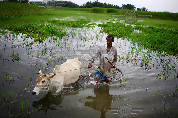 Farmers take their cows to graze in a submerged field. During the rains it is very difficult to find grazing pastures, and farmers are forced to travel many kilometres to feed their animals.