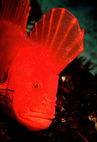 Red Velvetfish, Gnathanacanthus goetzeei, an endemic species of fish found in southern Australian and most common in Tasmania, Fortesque Bay, Tasmania, Australia, Southern Ocean