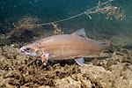 Lake Whitefish swimming left