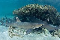 Whitetip reef sark, Triaenodon obesus, Haha-jima, Bonin Islands, Ogasawara, Tokyo, Japan, Pacific Ocean