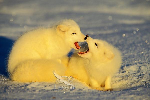 MF328  Arctic Foxes (Vulpes lagopus)