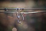 Tendril on Napa Valley grape vine