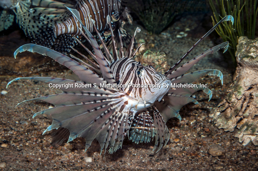 red lionfish, full body view displaying fins